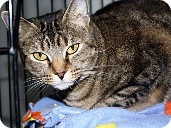 Domestic Shorthair Cat for adoption in Owenboro, Kentucky - TOPCAT