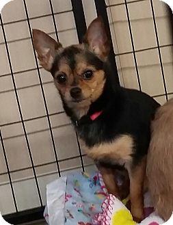 Chihuahua Mix Dog for adoption in Urbana, Ohio - Tinkerbell