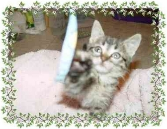 Domestic Shorthair Kitten for adoption in KANSAS, Missouri - Glitter