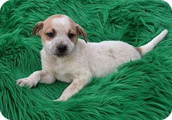 Shepherd (Unknown Type) Mix Puppy for adoption in Groton, Massachusetts - Brooks