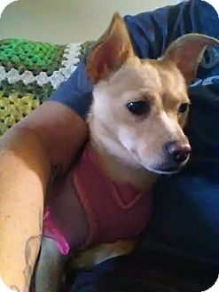 Chihuahua Mix Dog for adoption in Pataskala, Ohio - Willow