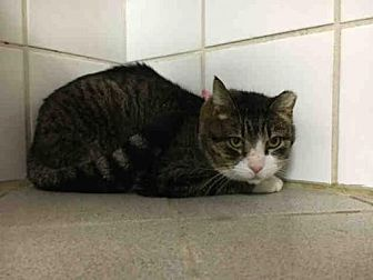Domestic Mediumhair Cat for adoption in Canfield, Ohio - MIDNIGHT