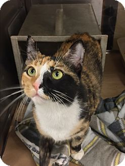 Calico Cat for adoption in Woodbine, New Jersey - Flora