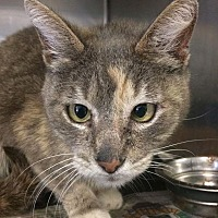 Calico Cat for adoption in San Bernardino, California - Kelly