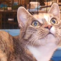 Adopt A Pet :: Sweet Potato - Whiting, IN