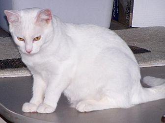 Domestic Shorthair Cat for adoption in Ashland, Virginia - David