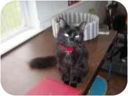 Domestic Shorthair Cat for adoption in Hamburg, New York - Carrot