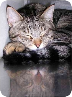 Domestic Shorthair Cat for adoption in San Clemente, California - TIGGER