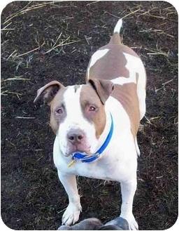 American Bulldog/Pointer Mix Dog for adoption in Sacramento, California - Lola Luv