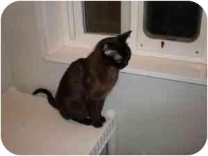 Burmese Cat for adoption in McDonough, Georgia - Tiny