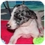 Photo 4 - Australian Cattle Dog/Australian Cattle Dog Mix Puppy for adoption in Broomfield, Colorado - Violet