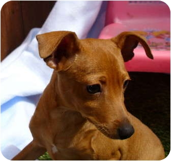 Miniature Pinscher Puppy for adoption in Sun Valley, California - Miniature Pinscher Family