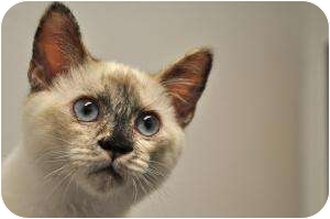 Siamese Kitten for adoption in Foothill Ranch, California - Olivia