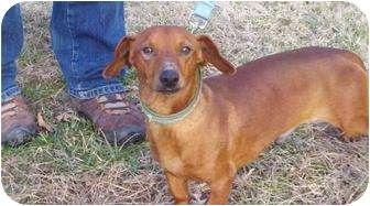 Dachshund Dog for adoption in Foster, Rhode Island - Meyer