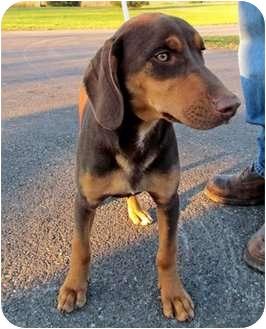 Doberman Pinscher Mix Dog for adoption in mishawaka, Indiana - Rebel