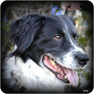 Border Collie/Field Spaniel Mix Dog for adoption in Vista, California - Willy