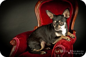 Chihuahua Dog for adoption in Edmond, Oklahoma - Minnie Tonka