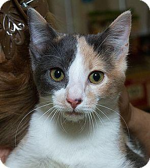 Domestic Shorthair Cat for adoption in Sacramento, California - Sky N
