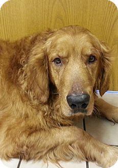 Golden Retriever Dog for adoption in White River Junction, Vermont - Telly
