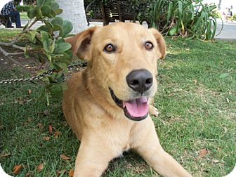 Labrador Retriever Mix Dog for adoption in Poway, California - HARRY
