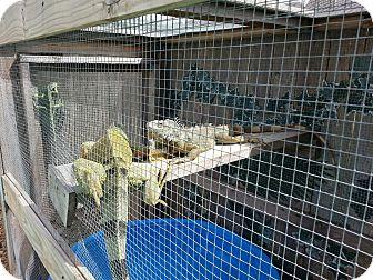 Iguana for adoption in HOUSTON, Texas - ASSORTED IGGYS