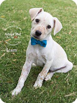 Cattle Dog/Shiba Inu Mix Puppy for adoption in Gilbert, Arizona - Liam