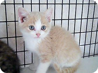 Domestic Shorthair Kitten for adoption in Monterey, Virginia - Luke