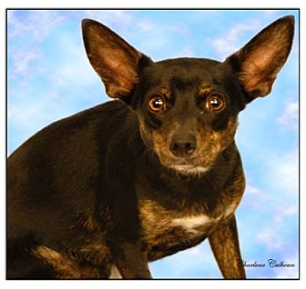 Chihuahua/Miniature Pinscher Mix Dog for adoption in Newland, North Carolina - Scooter