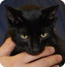 Domestic Shorthair Cat for adoption in Brooklyn, New York - Doug