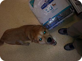 Jindo/Shiba Inu Mix Dog for adoption in Memphis, Tennessee - Houdinia