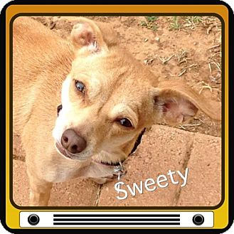 Chihuahua/Dachshund Mix Dog for adoption in Snyder, Texas - Sweetie