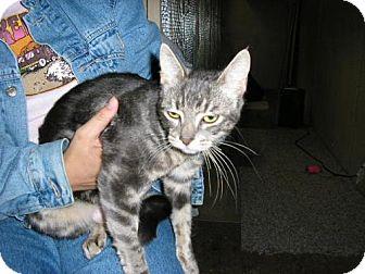 Domestic Mediumhair Cat for adoption in Salem, Oregon - IO