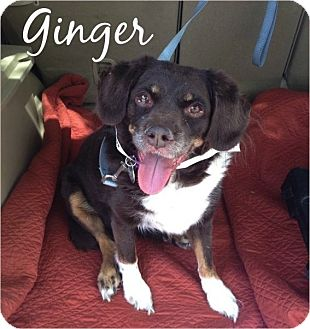 Cocker Spaniel/Australian Shepherd Mix Dog for adoption in Scottsdale, Arizona - Ginger