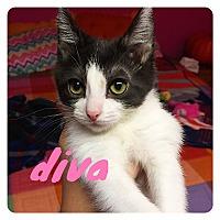 Adopt A Pet :: Diva - Bentonville, AR