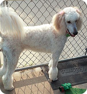 Poodle (Standard)/Golden Retriever Mix Dog for adoption in Lombard, Illinois - Molly