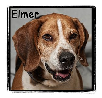 Beagle/Basset Hound Mix Dog for adoption in Warren, Pennsylvania - Elmer