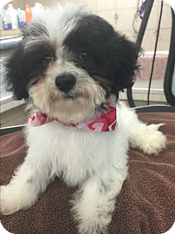 Shih Tzu/Poodle (Miniature) Mix Puppy for adoption in Glastonbury, Connecticut - Daisy - PENDING ADOPTION