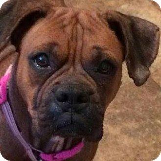 Boxer Mix Dog for adoption in Upper Sandusky, Ohio - Dixie