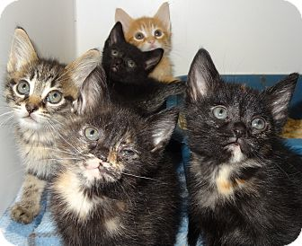 Domestic Shorthair Kitten for adoption in Lapeer, Michigan - Kittens!