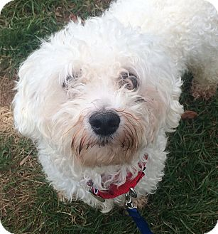 Bichon Frise/Maltese Mix Dog for adoption in Oak Ridge, New Jersey - Oscar