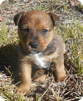 Australian Cattle Dog/Cardigan Welsh Corgi Mix Puppy for adoption in Allentown, New Jersey - Paco