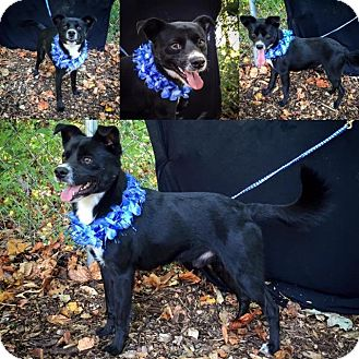 Border Collie/Schipperke Mix Dog for adoption in Danbury, Connecticut - Riley