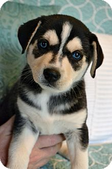 Siberian Husky/Labrador Retriever Mix Puppy for adoption in Staunton, Virginia - Kaya