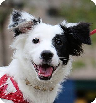 Border Collie/Collie Mix Puppy for adoption in San Mateo, California - Pongo
