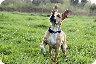Shepherd (Unknown Type) Mix Puppy for adoption in Salem, Oregon - Shiloh