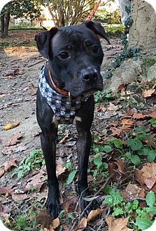 American Pit Bull Terrier/Labrador Retriever Mix Dog for adoption in East Stroudsburg, Pennsylvania - JEMMA