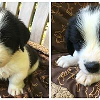 Adopt A Pet :: Basil - Charlotte, NC
