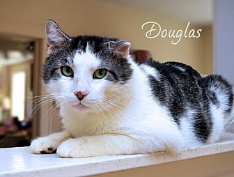 Domestic Shorthair Cat for adoption in Sarasota, Florida - Douglas