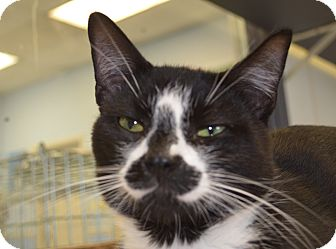 Domestic Shorthair Cat for adoption in Martinsville, Indiana - Damon