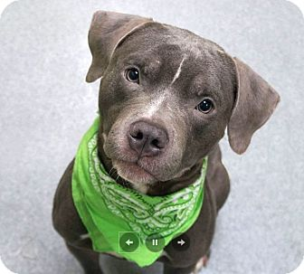 American Pit Bull Terrier/American Bulldog Mix Dog for adoption in Elizabeth, New Jersey - Milly